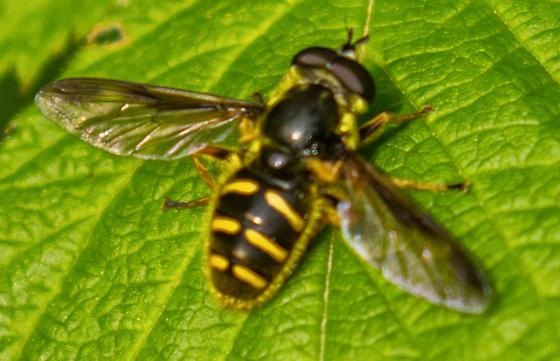 bee 1 - Sericomyia chrysotoxoides