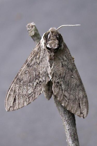 Catalpa Sphinx Moth - Hodges #7789 - Ceratomia catalpae
