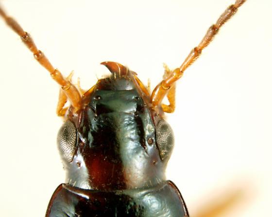 Bembidion (Peryphanes) stephensii Crotch, 1866  - Bembidion stephensii