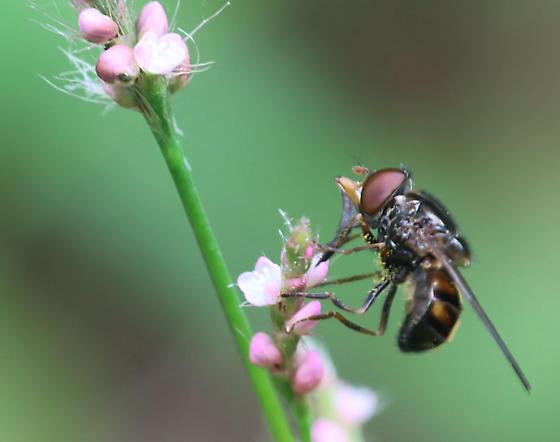 Copestylum (?) on Smartweed - Rhingia nasica