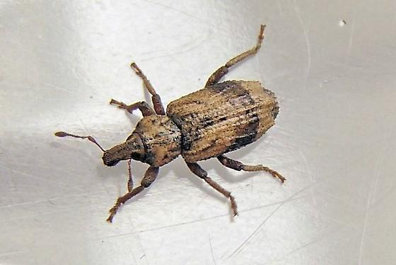 Weevil - Listroderes apicalis