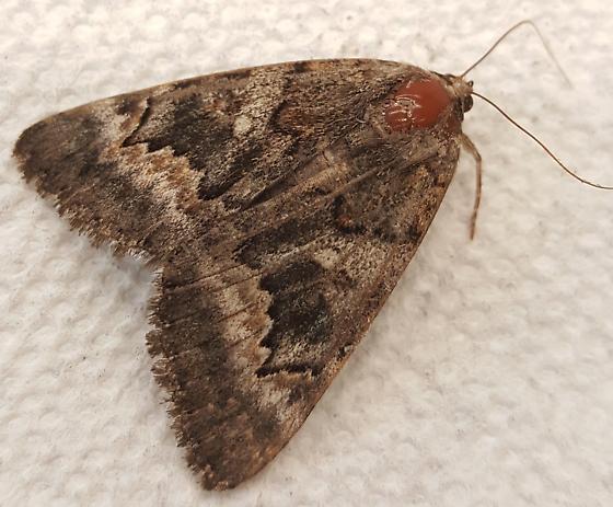 Catocala Erebidae moth? - Catocala epione