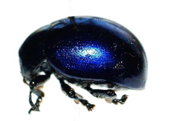 Dark blue Leptinotarsa haldemani? - Leptinotarsa haldemani