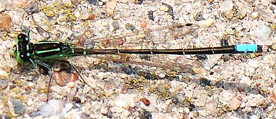 UID DAMSELFLY - Ischnura verticalis - male