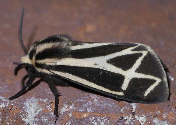 Black and white tiger moth - Apantesis carlotta-nais-phalerata-vittata