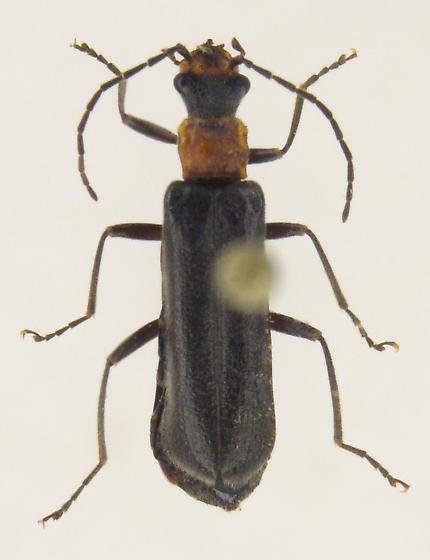 Dichelotarsus punctatus
