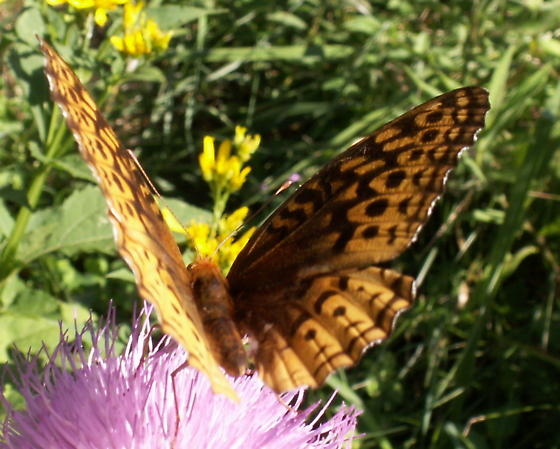 Great Spangled Fritillary - Hodges#4450 - Speyeria cybele