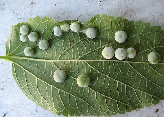 Hackberry galls - Pachypsylla celtidismamma