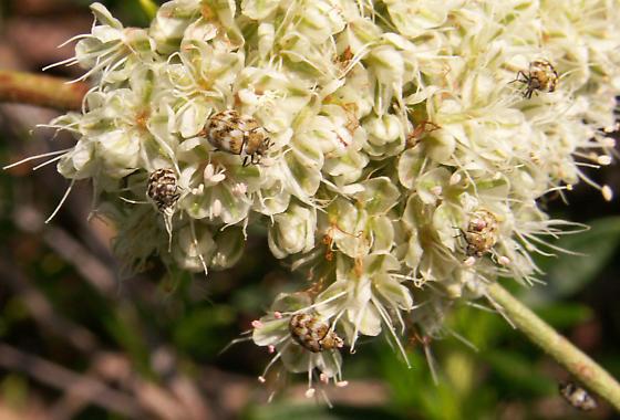 Little Beetles - Anthrenus verbasci