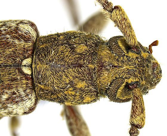 Anelaphus debilis