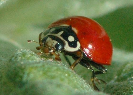 Spotless ladybird beetle for California in April - Cycloneda sanguinea - male