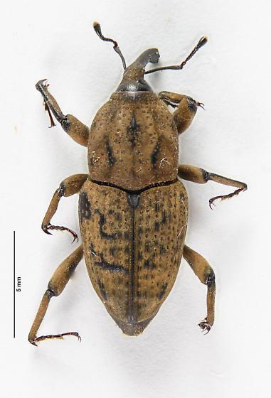 Sphenophorus of sorts.. - Sphenophorus destructor