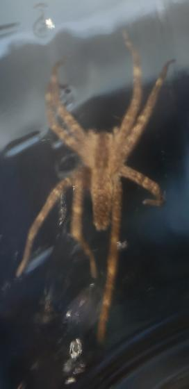 Not a brown recluse, right? - Pisaurina mira