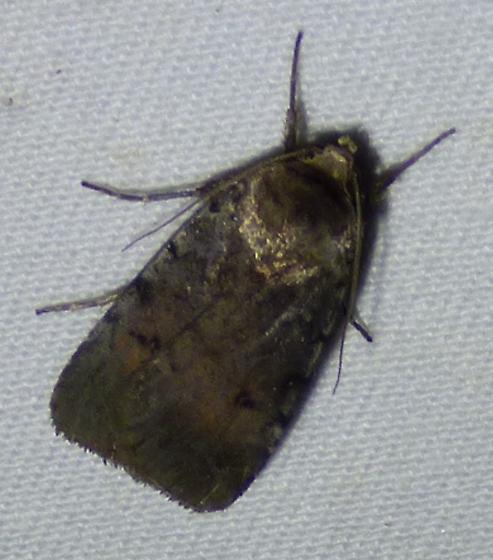 unknown moth - Anicla