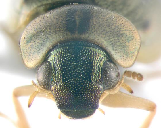 Hydrophilidae, frontal - Berosus