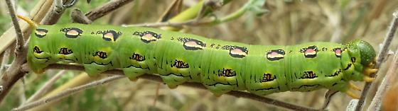 White-lined Sphinx moth caterpillar - Hyles lineata