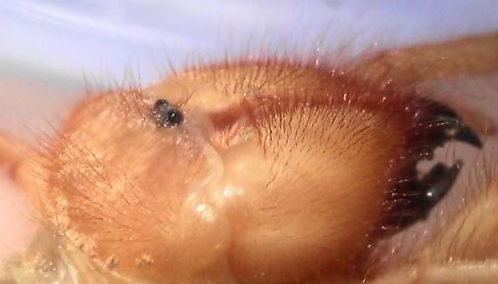 Large Desert Solifugid (hair lines) - Eremorhax - female