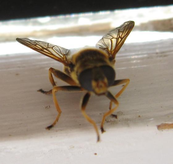 Syrphidae 8-05-11 01a - Hadromyia crawfordi