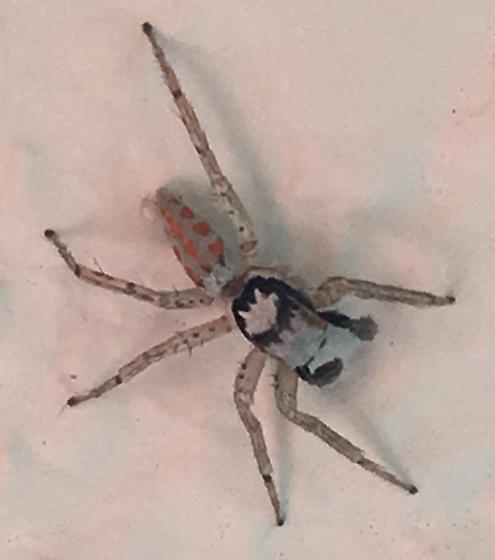 Paramaevia poultoni (Peckham & Peckham) - Paramaevia poultoni - male