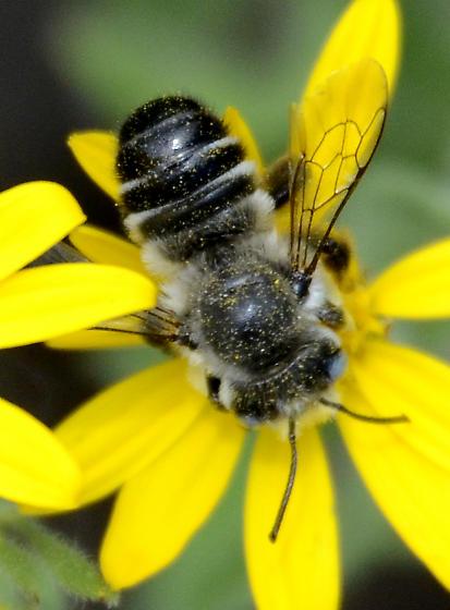 Melissodes? Species? - Megachile