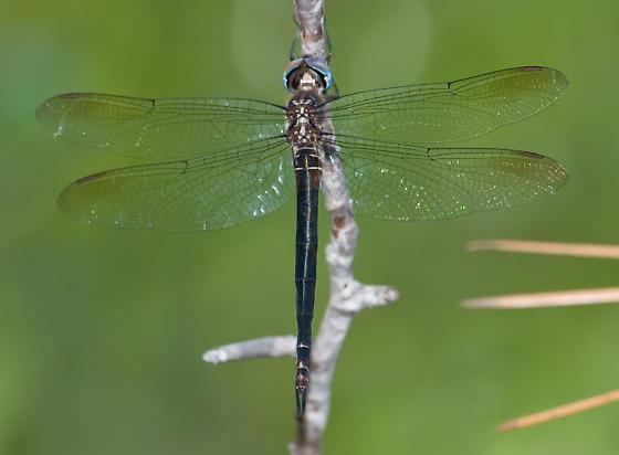 Fine-Lined Emerald - Somatochlora filosa - female