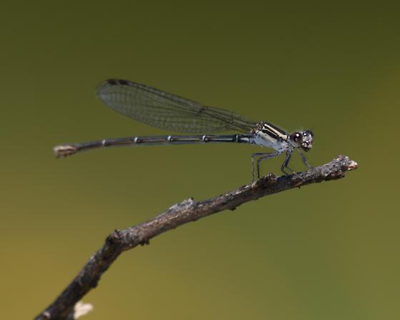 Unknown Damselfly - Argia translata - female