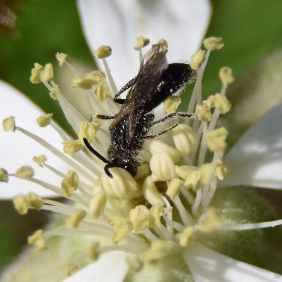 Small sweat bee - Panurginus