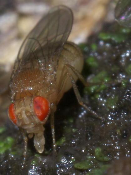 Tan, red-eyed fly on tree sap - Drosophila