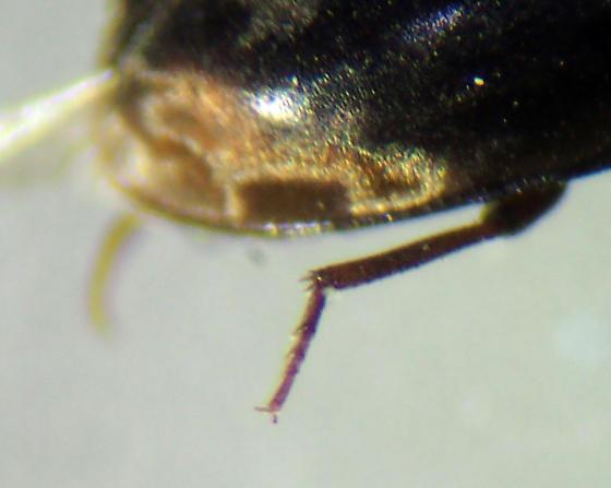Limnichidae? - Enneboeus marmoratus