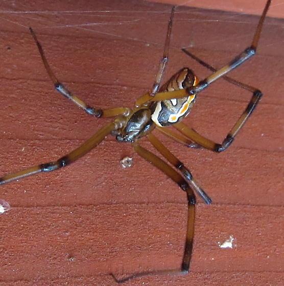 Colorful cellar spider? - Latrodectus hesperus