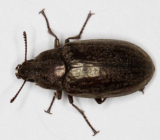 Beetle - Bothrotes canaliculatus