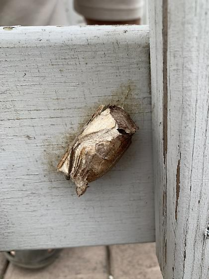 Unknown Cocoon (Saturniid?)