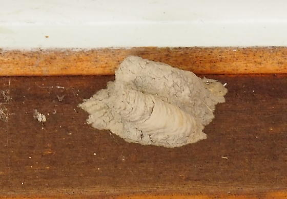 Mud wasp nests? - Sceliphron