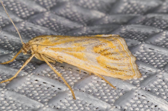 Noctuidae Aug 15, 2020 - Hemiplatytes