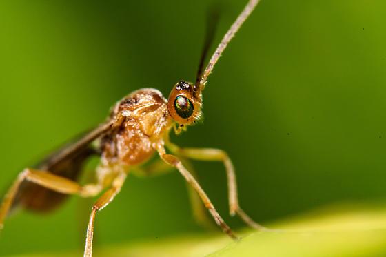 small wasp - Meteorus