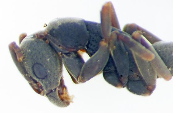 Unknown ant - Platythyrea punctata