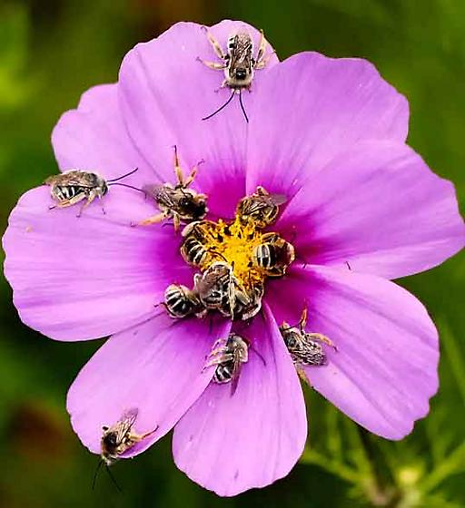 13 bees sleeping on a cosmos flower - Melissodes - male