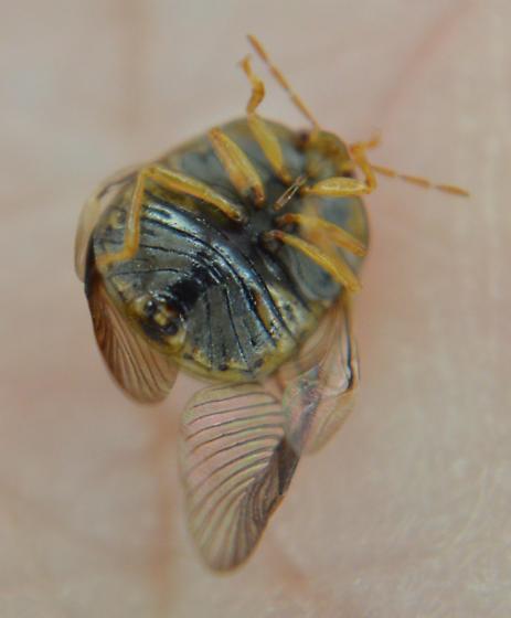 Kudzu Bug - Megacopta cribraria - male