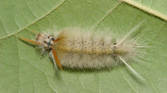 Harris' Tussock Moth Caterpillar - Halysidota harrisii
