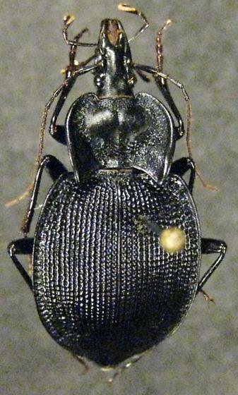 Scaphinotus unicolor - male