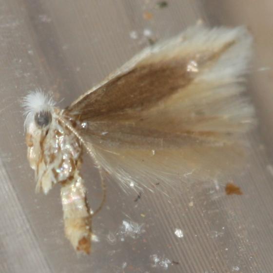 brittle bush moth - Bucculatrix enceliae