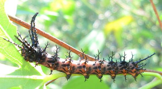 Thorny c-pillar - Citheronia splendens