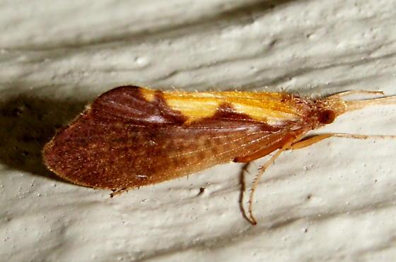 Autumn Mottled Sedge - Neophylax