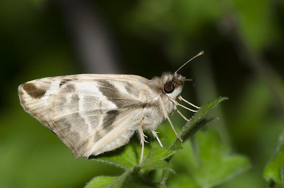 Laviana White-Skipper - Heliopetes laviana - male