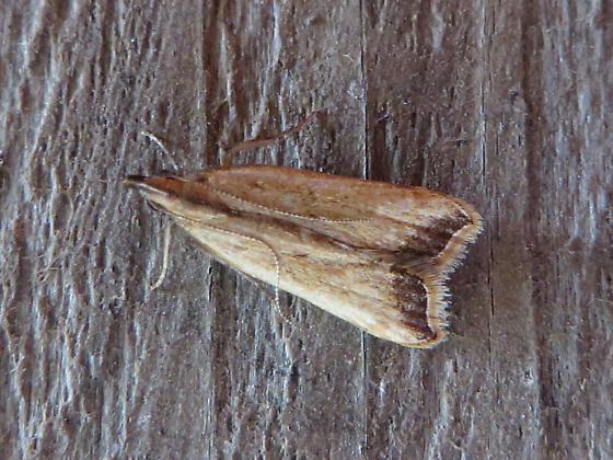 Black-edged Dichomeris Moth  - Dichomeris heriguronis