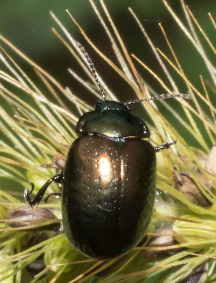 Bronze-green beetle - Chrysolina