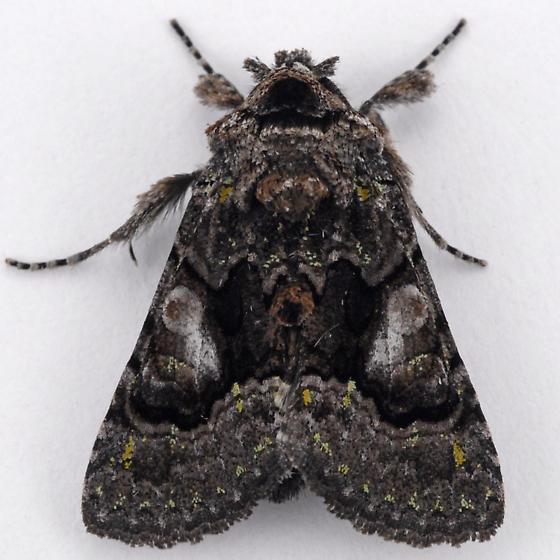 Behrensia conchiformis ? - Behrensia conchiformis
