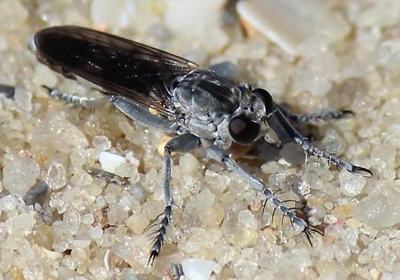 tiny robber fly - Stichopogon trifasciatus