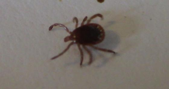 Possible Tick? - Amblyomma americanum - male