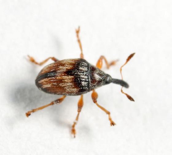 Flower Bud Weevil - Nanophyes marmoratus